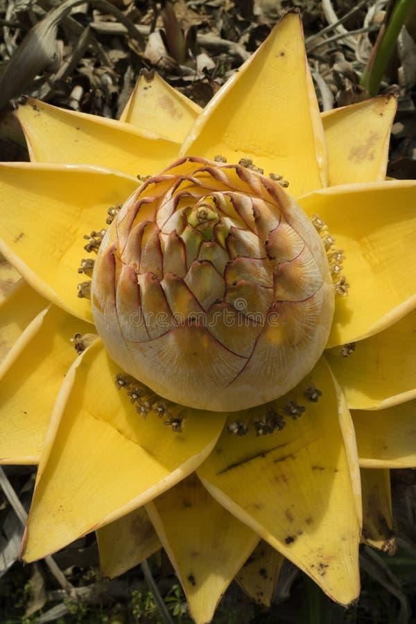 Żółty Chiński karłowaty banan obrazy stock