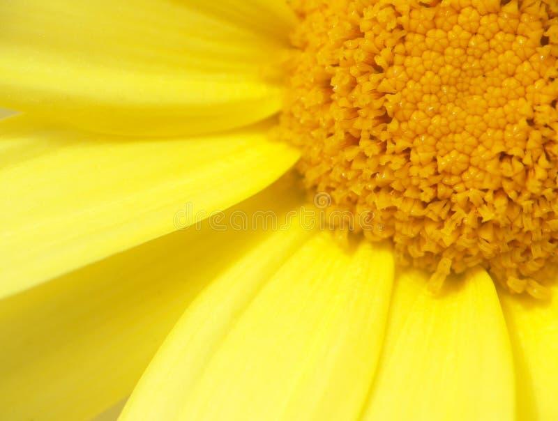 Żółty chryzantema obrazy stock