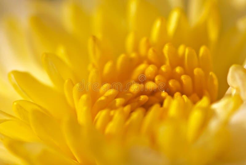 Żółty chryzantema fotografia royalty free
