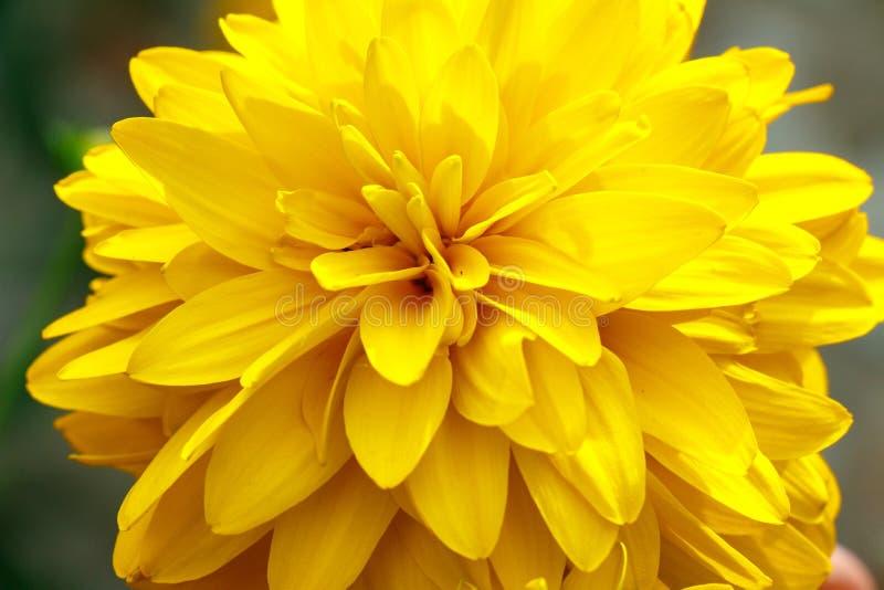 Żółty chryzantema kwiat zamknięty w górę tła i tekstury jako obrazy stock