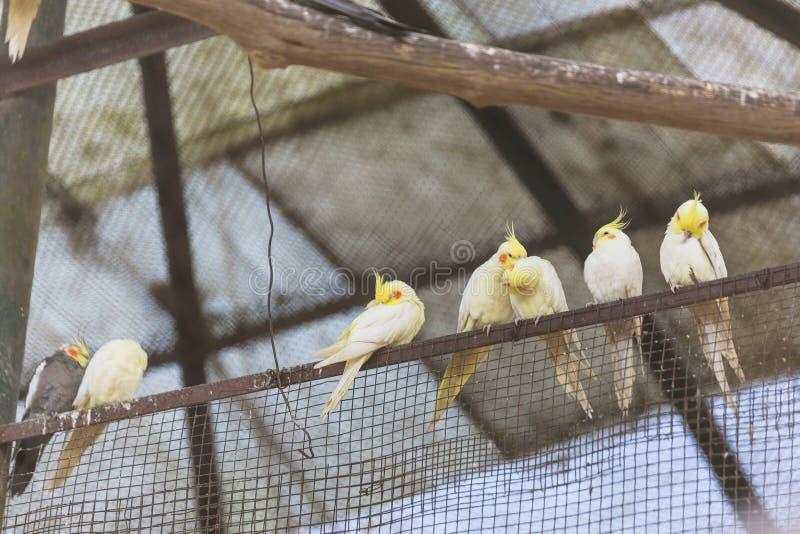 Żółty Cockatiel ptaków stojak na poręczu w klatce w Padmaja Naidu Himalajskim Zoologicznym parku przy Darjeeling, India zdjęcia royalty free
