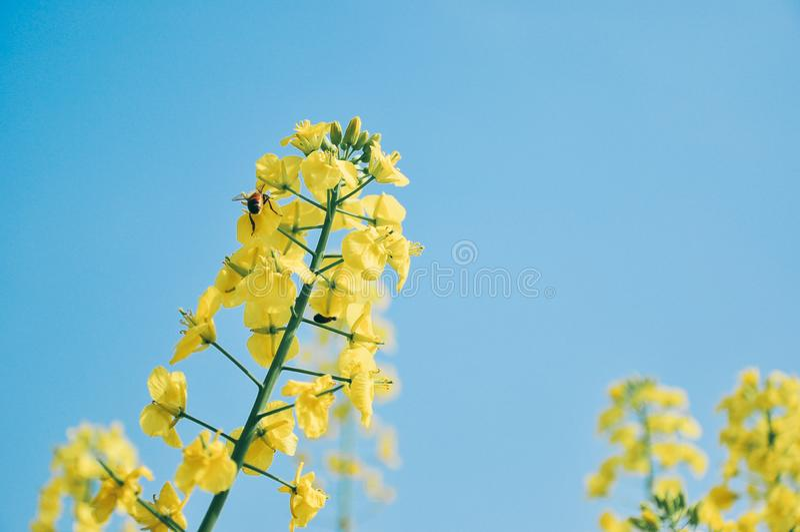 Żółty cole kwitnie w wiośnie, z pszczołą fotografia stock