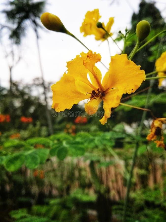 Żółty colour kwiat przy ogródem fotografia stock