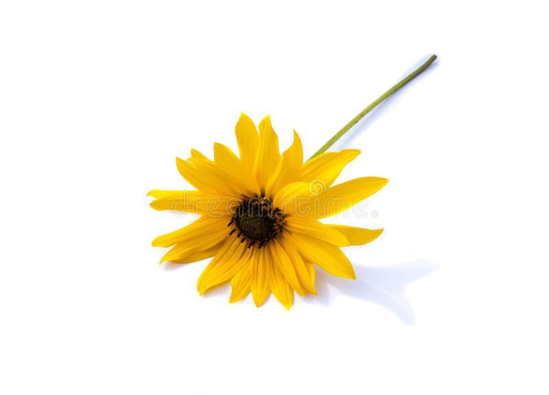 Żółty coneflower odizolowywający na białym tle obrazy stock