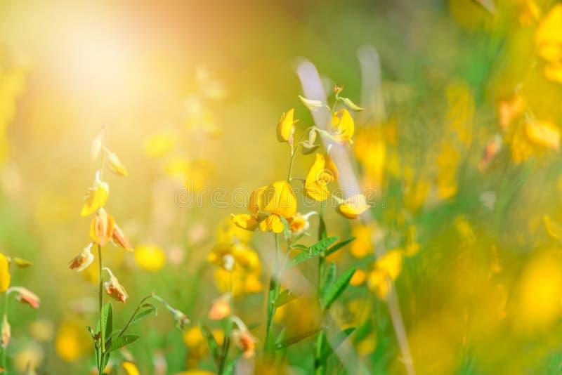 Żółty Crotalaria juncea kwiat z zamazanym Sunn konopie lub Crotalaria juncea na tle obraz royalty free