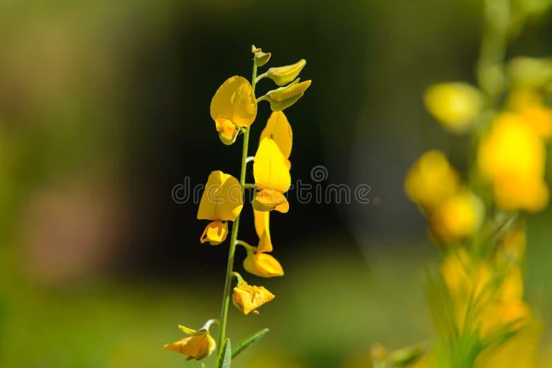 Żółty Crotalaria juncea kwiat z zamazanym Sunn konopie lub Crotalaria juncea na tle obraz stock