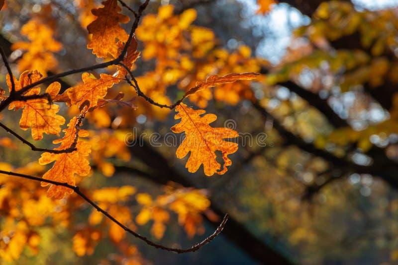 Żółty dąb opuszcza nad wodą w jaskrawym świetle słonecznym Jesień pogodny park zdjęcia stock