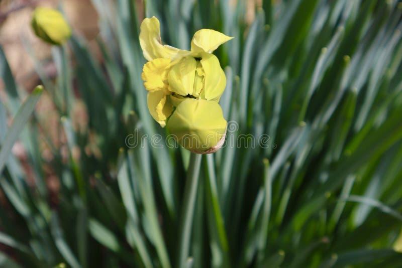 Żółty Daffodil pączek wokoło Kwitnąć zdjęcia royalty free