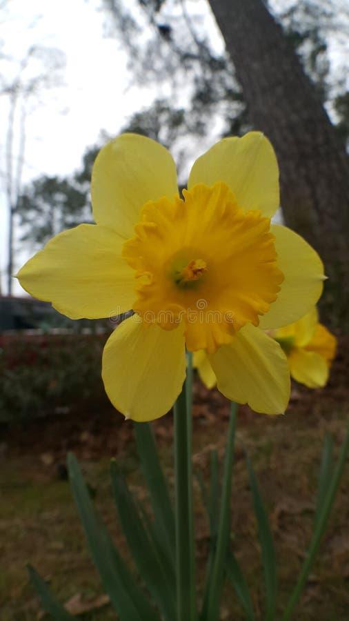 Żółty daffodil zbliżenie zdjęcia royalty free