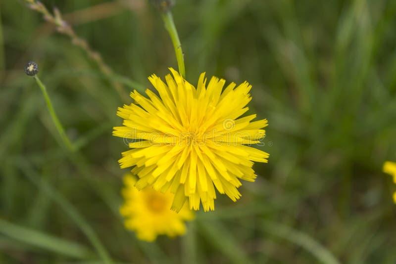Żółty dandelion kwiat od above fotografia stock