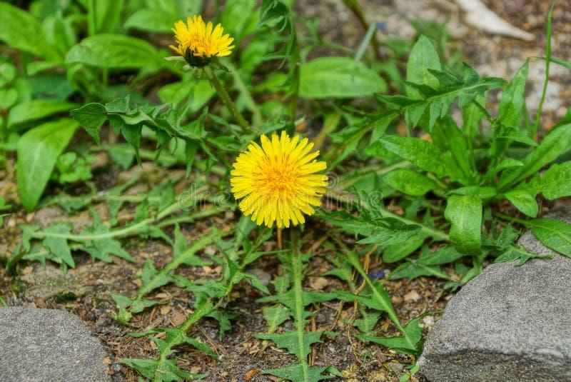 Żółty dandelion kwiat z zielonymi liśćmi r wśród szarych kamieni zdjęcie stock