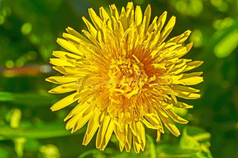Żółty dandelion kwiat zamknięty w górę dnia w jaskrawym świetle słonecznym Tło zdjęcie royalty free