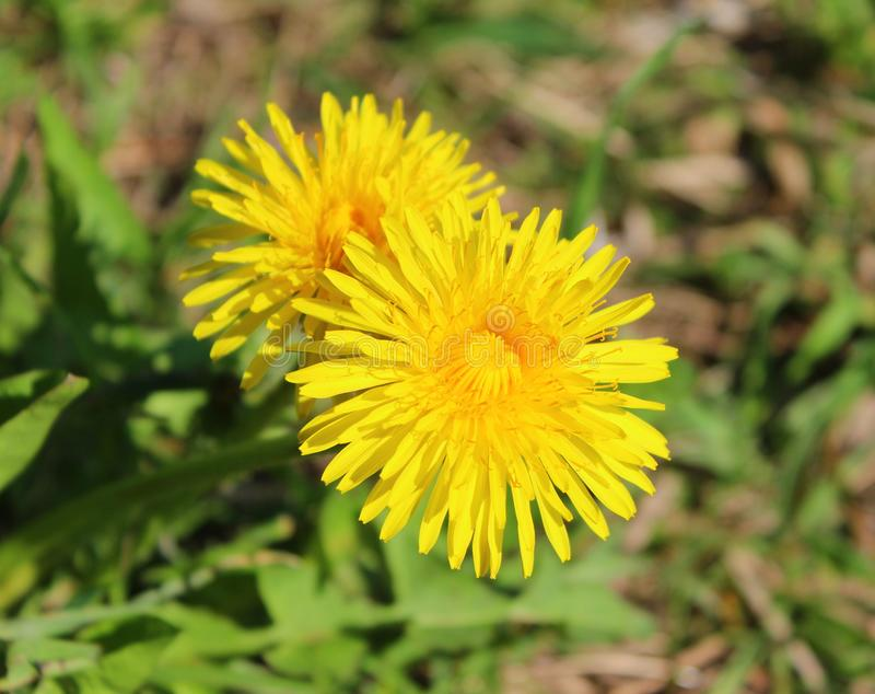 Żółty dandelion na zielonym tle w ogródzie na słonecznym dniu fotografia stock