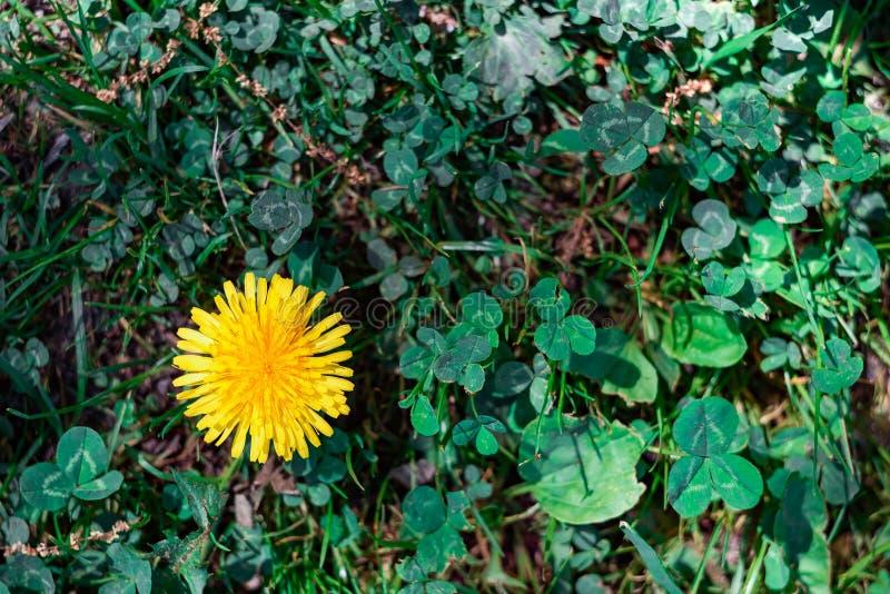 Żółty dandelion wśród ulistnienia na wierzchołku fotografia royalty free
