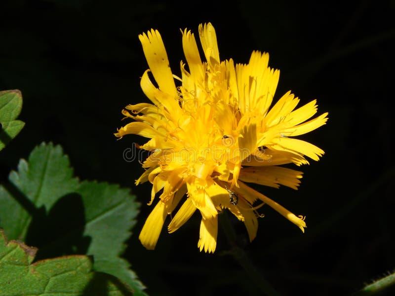 Żółty dandelion w lato lesie fotografia stock