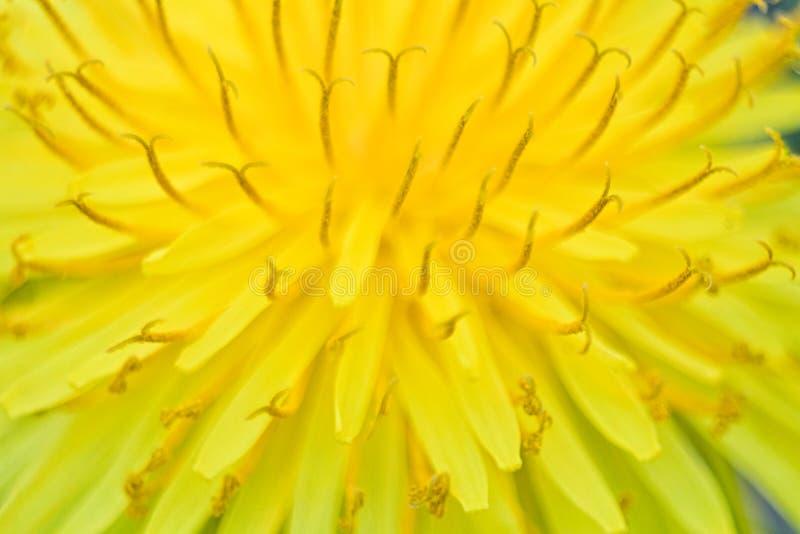 żółty dandelion w makro- obrazku fotografia royalty free