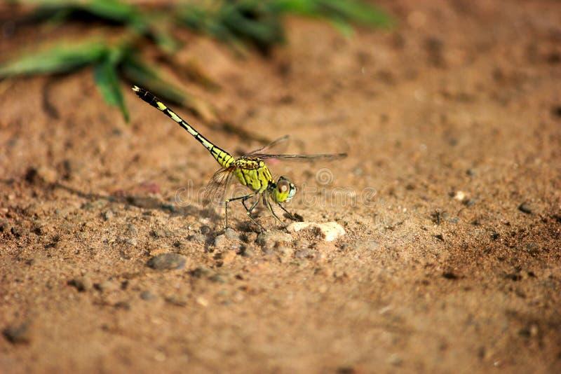Żółty dragonfly obraz royalty free