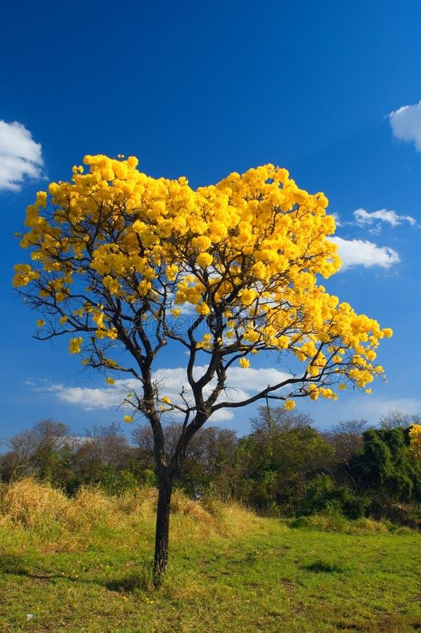 Żółty drzewny fotografia royalty free