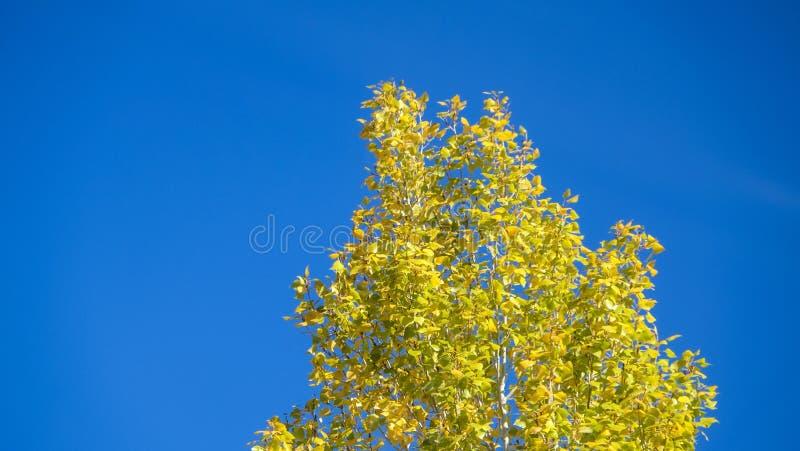 Żółty drzewo w zimie fotografia stock