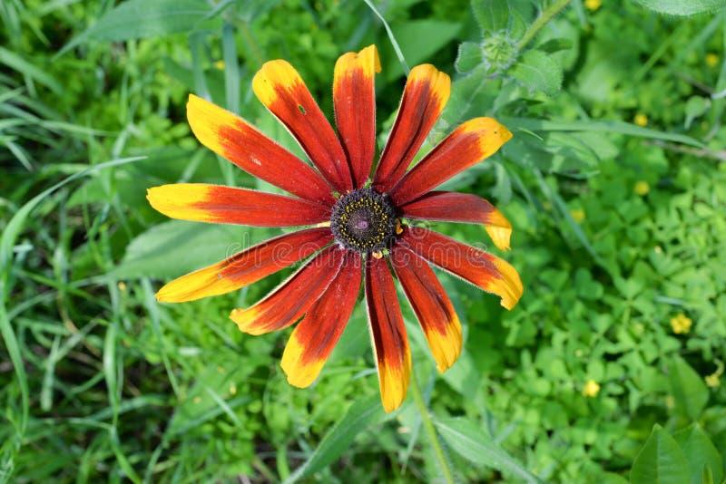 Żółty dziki gerbera stokrotki kwiat fotografia royalty free