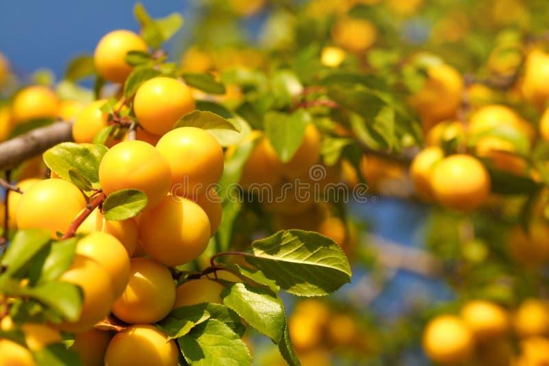 Żółty dziki mirabelki przycina Prunus domestica subsp syriaca owoc dorośnięcie na gałąź obrazy royalty free