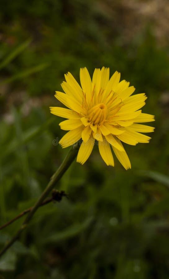Żółty dzikiego kwiatu makro- strzał obraz royalty free