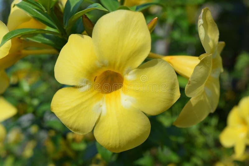 Żółty Frangipani kwitnie od Thailand zdjęcie royalty free