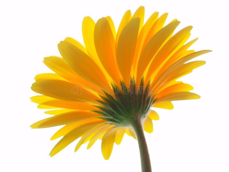 Żółty gerbera fotografia stock