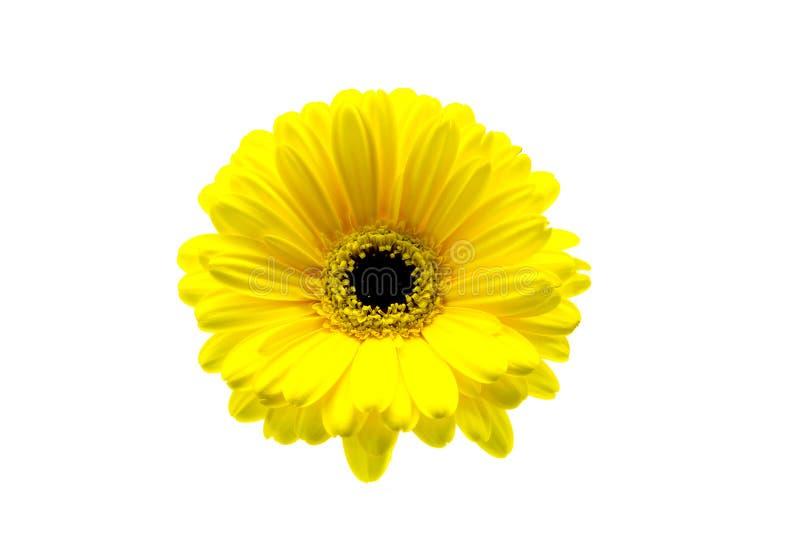 Żółty gerbera zbliżenie na białego tła kwiecistym tle zdjęcie royalty free