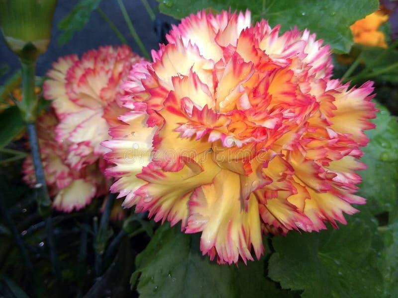 Żółty goździk kwitnie fotografię zdjęcie stock