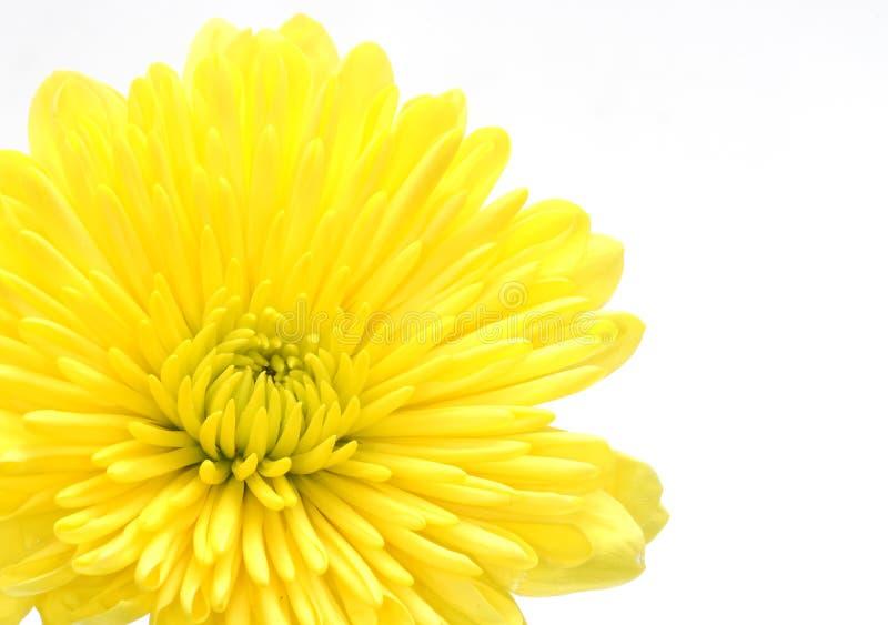 Żółty goździka obrazy stock