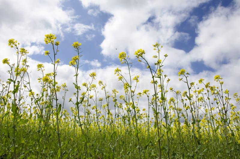 Żółty gwałt kwitnie przeciw niebieskiemu niebu obrazy royalty free