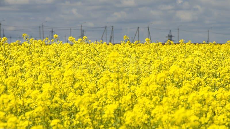 Żółty gwałt kwitnie przeciw niebieskiemu niebu obraz stock