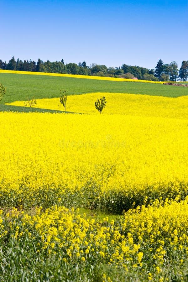 żółty gwałta pole blisko Sobotka, Artystyczny raju krajobraz, republika czech zdjęcie royalty free