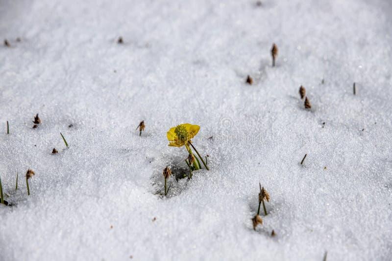 Żółty halny kwiat zamknięty w górę otaczający śniegiem Podróżować w Kirgistan obrazy royalty free