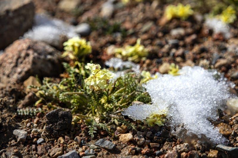 Żółty halny kwiatu dorośnięcie na kamieniach otaczających stapianie śniegiem Podróżować w Kirgistan zdjęcie stock