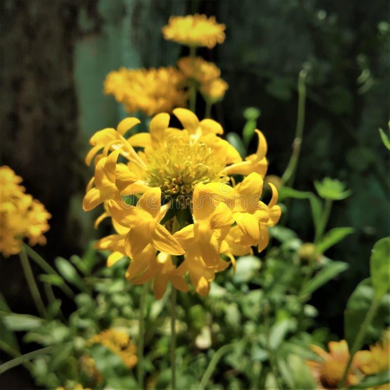 Żółty hibrid stokrotki kwiat zdjęcia stock