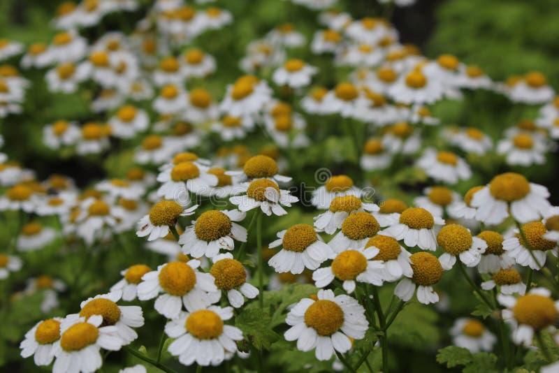Żółty i biały chryzantema kwiatu ogród fotografia royalty free