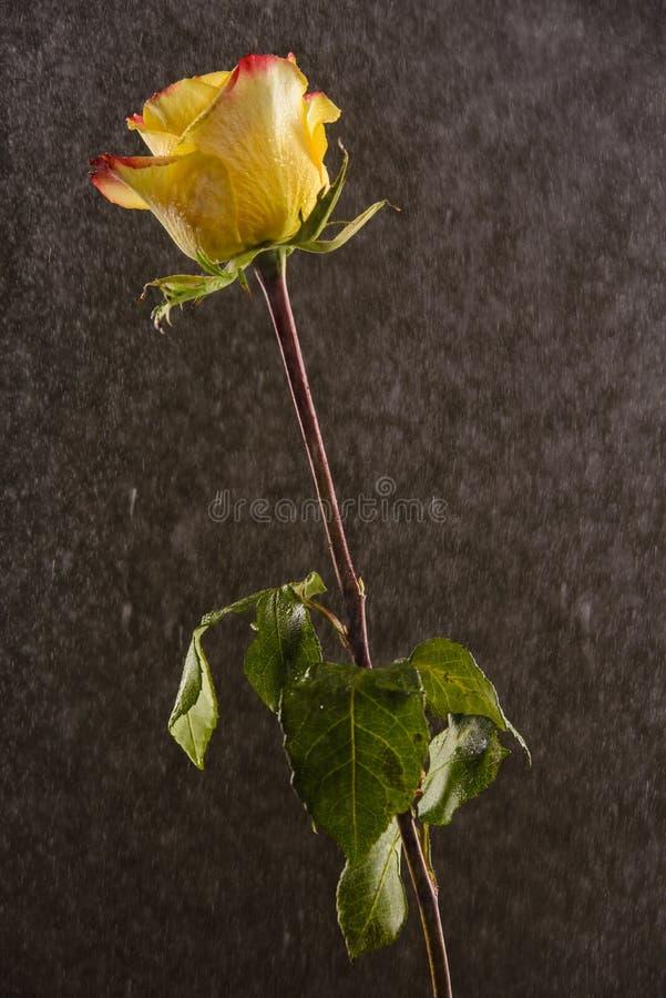 Żółty i czerwony ombre wzrastał na czarnym tle zakrywa w wodnych kroplach zdjęcia royalty free