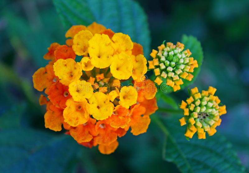 Żółty i pomarańczowy Lantana obrazy royalty free