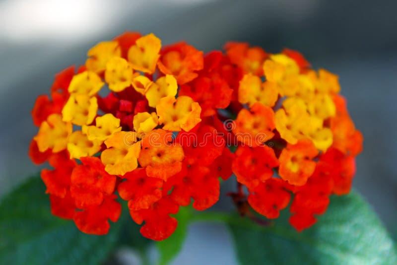 Żółty i pomarańczowy Lantana zdjęcia royalty free