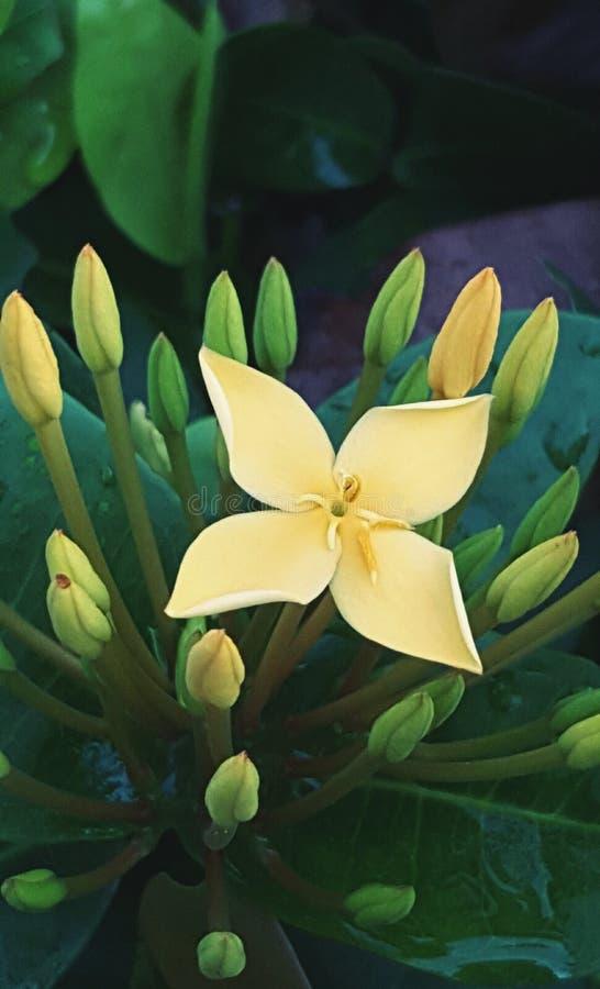 Żółty Ixora używać jako krajobraz zdjęcia royalty free