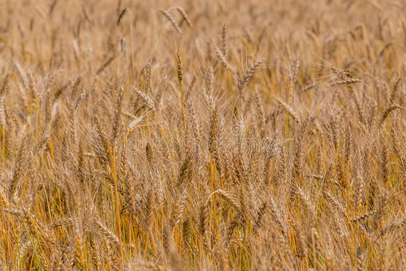 Żółty jęczmienia pole przy dniem pod bezpośrednim światłem słonecznym W pełni wypełniający rolnictwa tło obraz royalty free