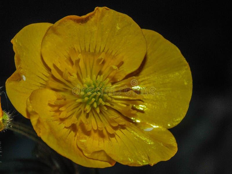 Żółty jaskier zdjęcie stock