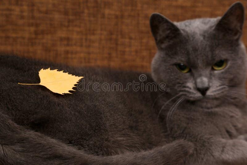 Żółty jesień liść kłama na udostępnieniach szarym kotem fotografia royalty free
