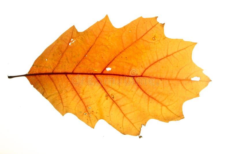 Żółty jesień liścia dąb odizolowywający na białym tle fotografia royalty free