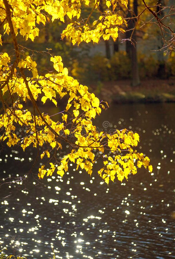 Żółty jesieni brzozy drzewo opuszcza na gałąź przeciw tłu obraz royalty free