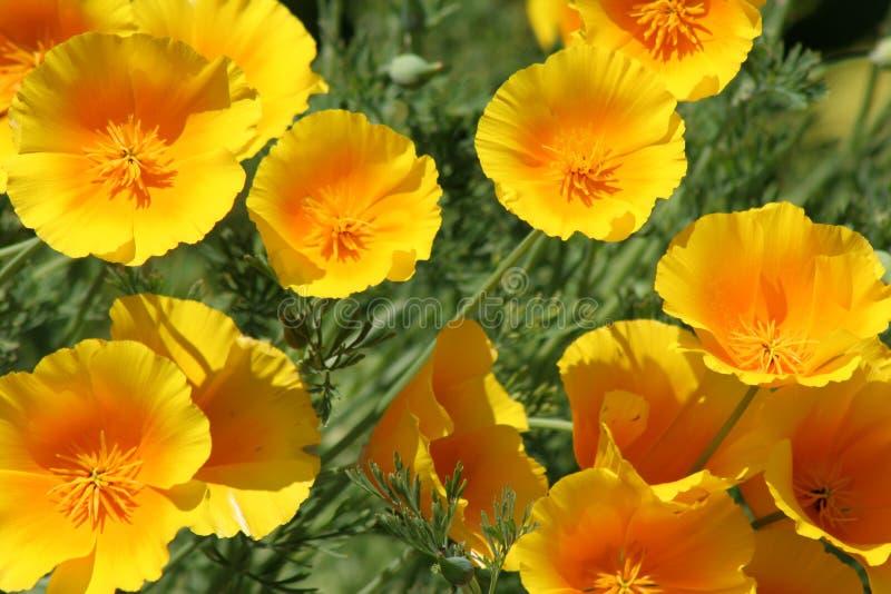 Żółty Kalifornia maczek fotografia royalty free