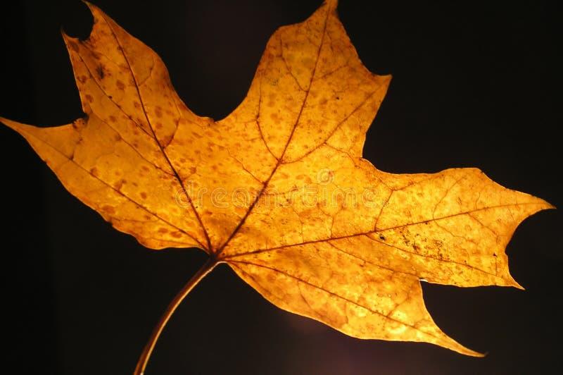 Żółty klonów liściach zdjęcia stock