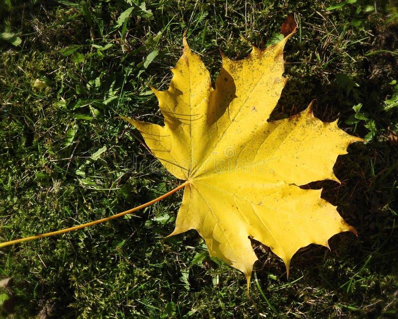 Żółty klonowego drzewa liść, Lithuania fotografia stock
